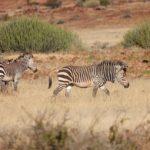 Mountain Zebra Namibia